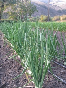 onions, cv. 'Candy'