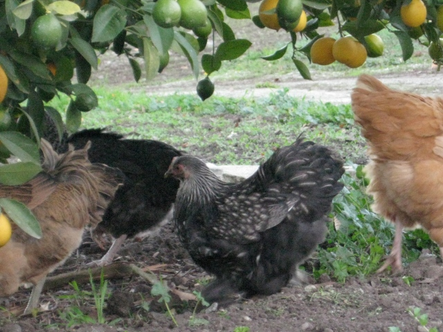 Our Bantam hen, Mr. Pants, under the lemon tree.