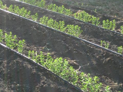 Flax plants.