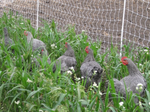 Barred Rocks in managed pasture with electric fencing