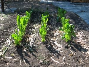 Maturing sugarbeet plants.